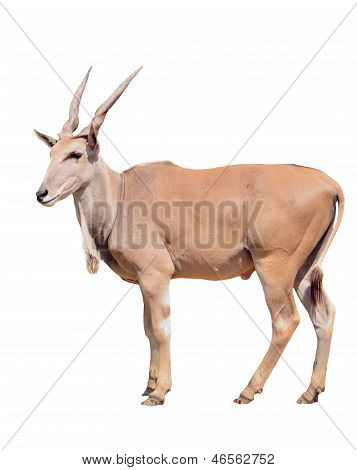 Eland Isolated