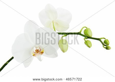 White Ortchid Isolated On White Background.