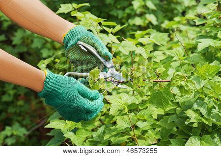 Hands With Pruner In The Garden.