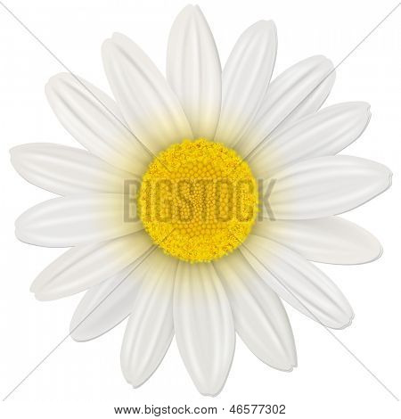 Daisy, flower isolated, vector illustration.
