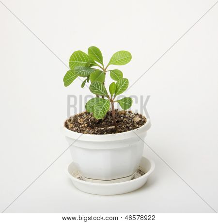 small spurge in a pot, isolated on white background