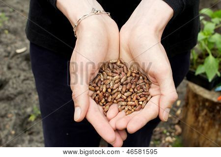 Haricot Beans In Man's Hands