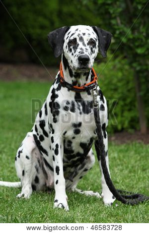 Beautiful Dalmatian Bitch Sitting And Looking At You