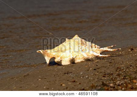 Conch Shell On A Beach.