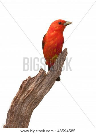 Tanager Pose