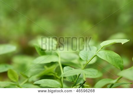 Natural Green Background With Focus On Bilberry