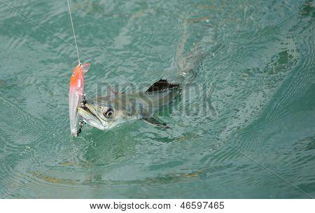 Spanish Mackerel Fish Caught On Hook And Fishing Line