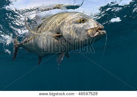 Bluefin Makrelen gefangen im Ozean mit einem Haken