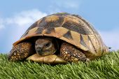 stock photo of turtle shell  - Turtle Testudo hermanni tortoise - JPG