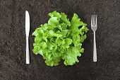 pic of butter-lettuce  - butter lettuce salad in soil with fork and knife - JPG