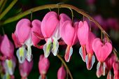 picture of lyre-flower  - Pink flower - JPG
