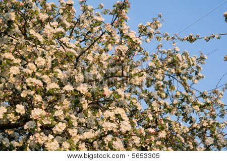 Cluster of apple tree flowers at sunset