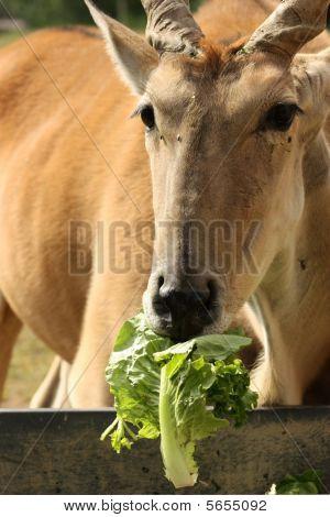 African Eland