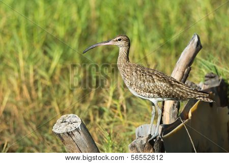 Whimbrel On On A Fence