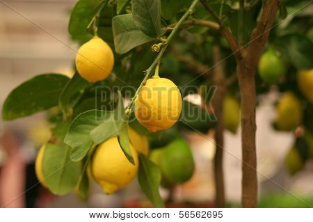 Organic Lemons On Tree In The Pot