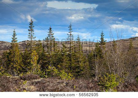 Norwegian Mountain Forest Background. Wild Spruces