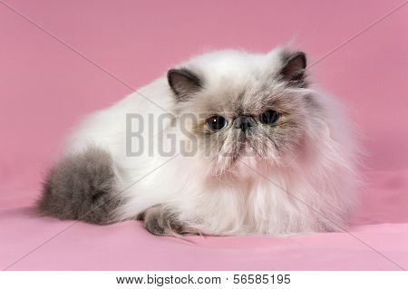 Persian Blue Point Cat