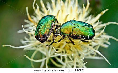 Chafer Beetles .