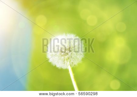 Dandelion With Sunspots