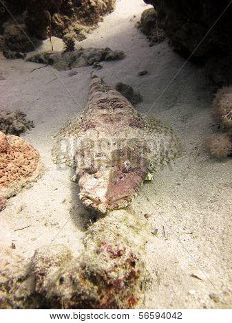 Unusual crocodilefish
