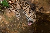 Постер, плакат: Jaguar Drinking From Pond