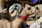 foto of nomads  - Decorated nomad camel at famous asian cattle festival in hindu holy town PushkarRajasthan India - JPG
