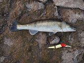 picture of long-fish  - long fish zander on stones with wobbler - JPG