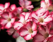 stock photo of desert-rose  - close up beautiful flower Desert Rose or Impala Lily or Mock Azalea Background - JPG