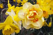 stock photo of jonquils  - Narcissus  - JPG