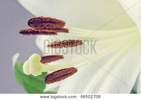Macro Of The Stamens And Pistil Of A Tiger Lily