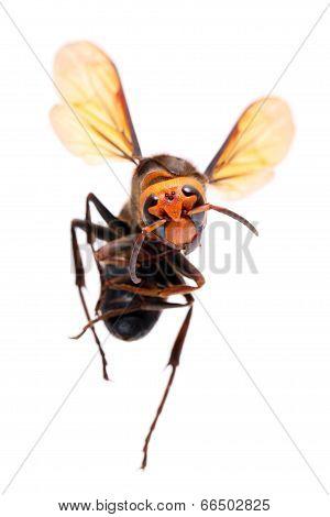 dead big hornet