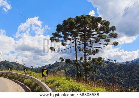 Araucaria Angustifolia ( Brazilian Pine) Near Road