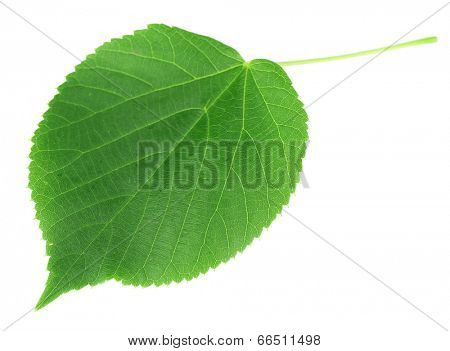 Green leave isolated on white