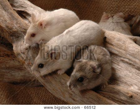 Three Dwarf Hamsters