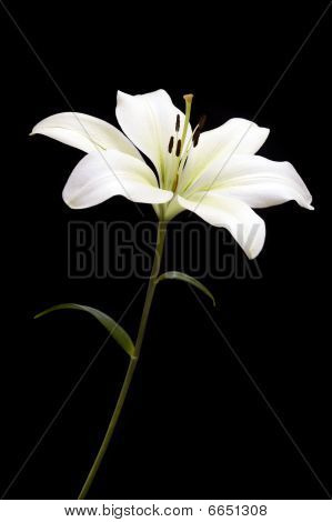 White Lily On Black