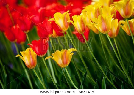 A beautiful tulip