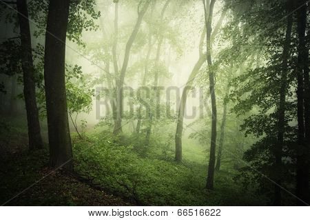 Enchanted forest with fog