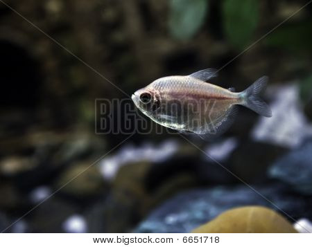 Freshwater Barb