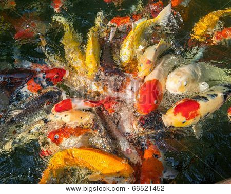 koi carp fishes in the pond of Phuket Botanical Garden at Phuket island Thailand