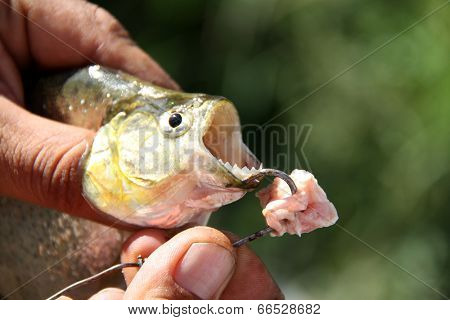 Fishing piranhas