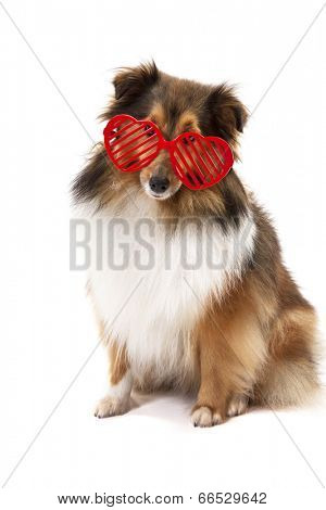Portrait of Shetland Sheepdog wearing red heartshape goggle