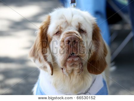 Clumber Spaniel Natural Portrait