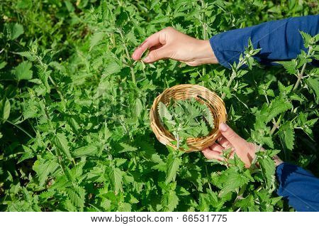 Herbalist Girl Hand Pick Balm Mint Herb Plant