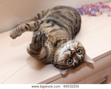Tabby Cat With Crazy Views Lying On Cupboard