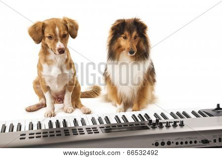Shetland sheepdog and mixed breed dog sitting on white background looking at piano
