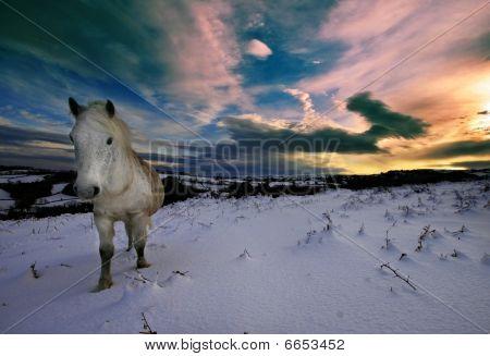 Dartmoor Pony Walking In Snow