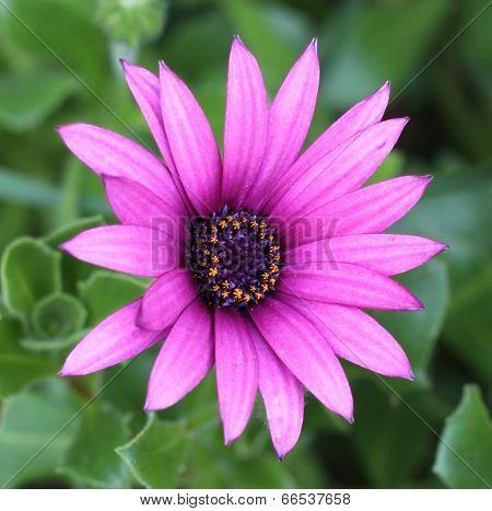 Osteospermum (African Daisy)