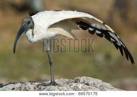 A Sacred Ibis (threskiornis Aethiopicus) Balancing On One Leg While Stretching Its Wing