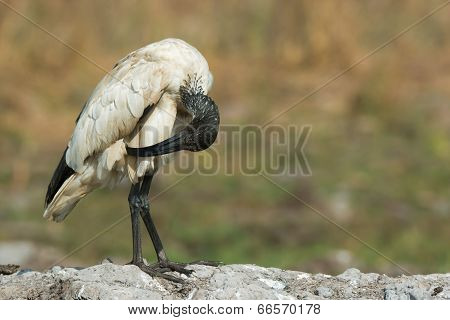 A Sacred Ibis (threskiornis Aethiopicus) Preening Down Low