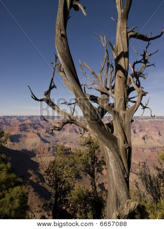 Tree At The Grand Canyon